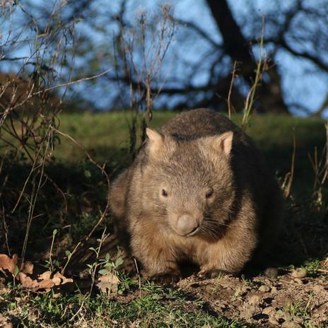 wombat at dusk
