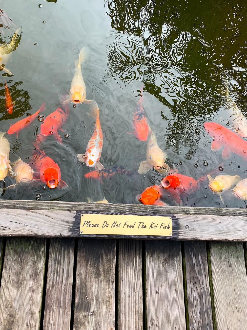 koi fish at Pacific Water Spa