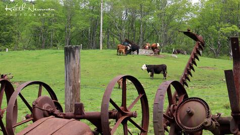 Cow Farm 1