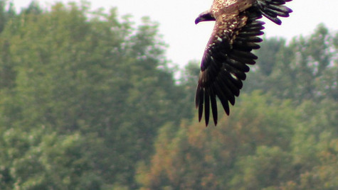 Immature Eagle 1