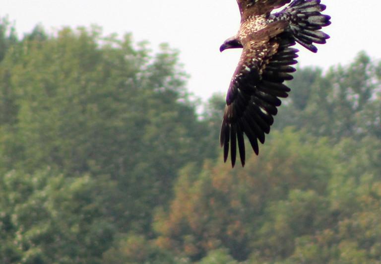 Immature Eagle 1