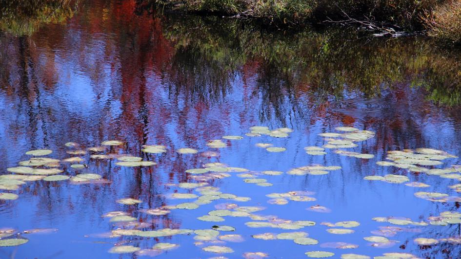 Autumn Lillies