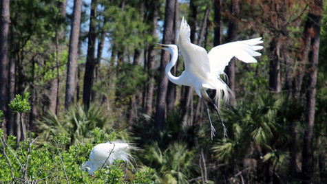 Egret in Flight 1