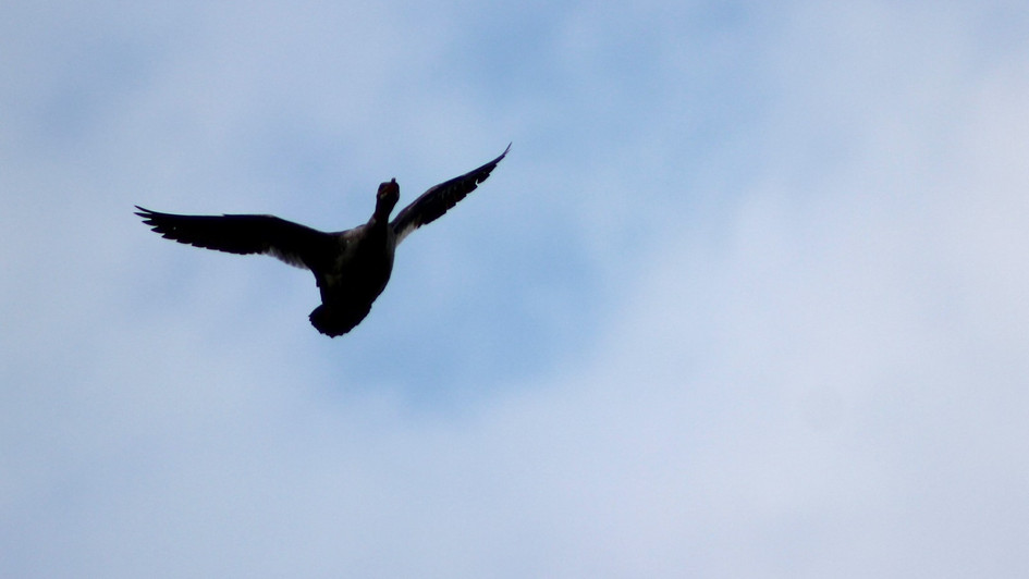 Loon Flying