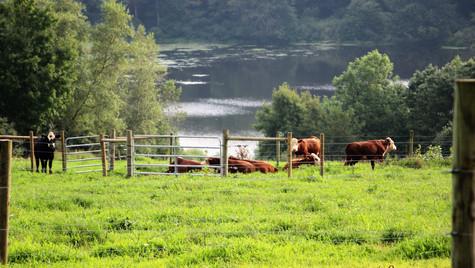 Bovine Pond