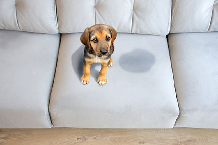Dog-peed-on-couch.jpg