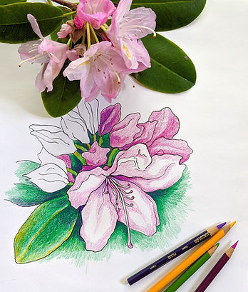 Azalea drawing and blooms with pencils f