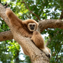 Le gibbon dans une de ses poses où il observe le monde environnant