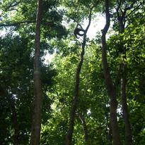 Là-haut dans les arbres, ilest difficile de s'en approcher