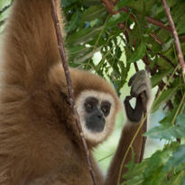 Le gibbon se suspend parfois à des lianes assez fines. il semblerait qu'il ait inspiré le personnage de tarzan créé par Edgar Rice Burroughs