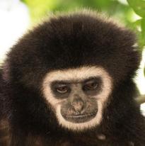 Le gibbon peut sembler pensif