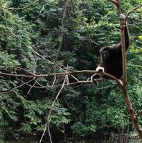 Les gibbons sont réputés pour ne pas aimer l'eau mais celui-ci prend des risques en se tenant au-dessus de cette rivière, c'est le seul de la bande à venir dans cet endroit.