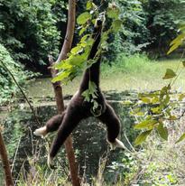 le gibbon est ici dans une posture pour le moins acrobatique, suspendu par une main à une branche