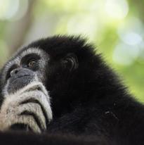 Le gibbon à mains blanches ou gibbon lar vit en asie du sud-est mais il est en voie de disparition et il est classé en danger d'extinction par l'UICN (Union Internationale pour la Conservation de la Nature et de ses ressources