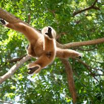 Lors d'un saut, le gibbon étend ici tous ses membres