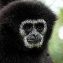 Il est rare que le gibbon regarde  dans les yeux. le plus souvent, lorsqu'on peut les approcher, ils se mettent de profil. Je pense qu'en étant de profil, ils restent sur le qui-vive en ayant l'ouïe tournée du bon côté.