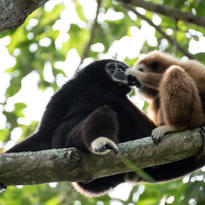 les soins à domicile existent aussi ici : le gibbon se fait ausculter par son partenaire