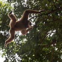Le gibbon semble nager dans les airs et c'est toujours un spectacle époustouflant