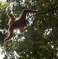 Le gibbon nage dans les airs !