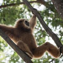 Ce gibbon est rès actif et ne tient pas souvent en place