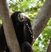 Le gibbon ici prend de l'eau dans le creux d'un tronc avec ses doigts. Ils vivent dans des forêts équatoriales humides