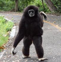Il est très rare qu'un gibbon mette peid à terre. Ce jour-là, il est venu vers moi et m'a dépassé. c'est l'un des rares à le faire (seulement lorsque je suis seul et qu'il n'y a personne dans les parages.
