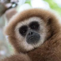 Les gibbons peuvent être de cette couleur ou de couleur plus brune, indépendamment du sexe