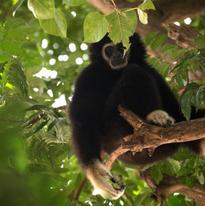 Les gibbons sont souvent masqués par les feuillages. En principe, ils n'ont pas de prédateur si ce n'est l'homme qui peut l'atteindre à distance avec une arme.