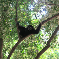 une posture favorite pour ce gibbon