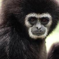 Le gibbon à mains blanches a une collerette blanche autour du visage. l'espèce est en voie de disparition en Asie du Sud-est (à cause de la disparition de son habitat par la déforestation et du fait aussi qu'il a été chassé par les braconniers). Il fait partie des grnads singes au même titre que les gorilles, les bonobos, les chimpanzés et les orangs-outans