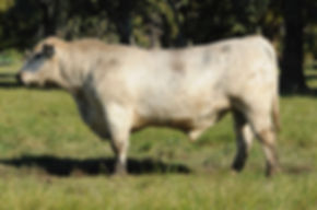 Te Mooi Speckle Park Sire Leander L81