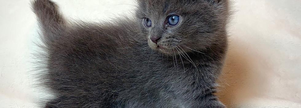 curled ear kitten for