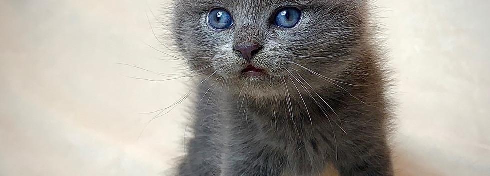 curled ear kitten