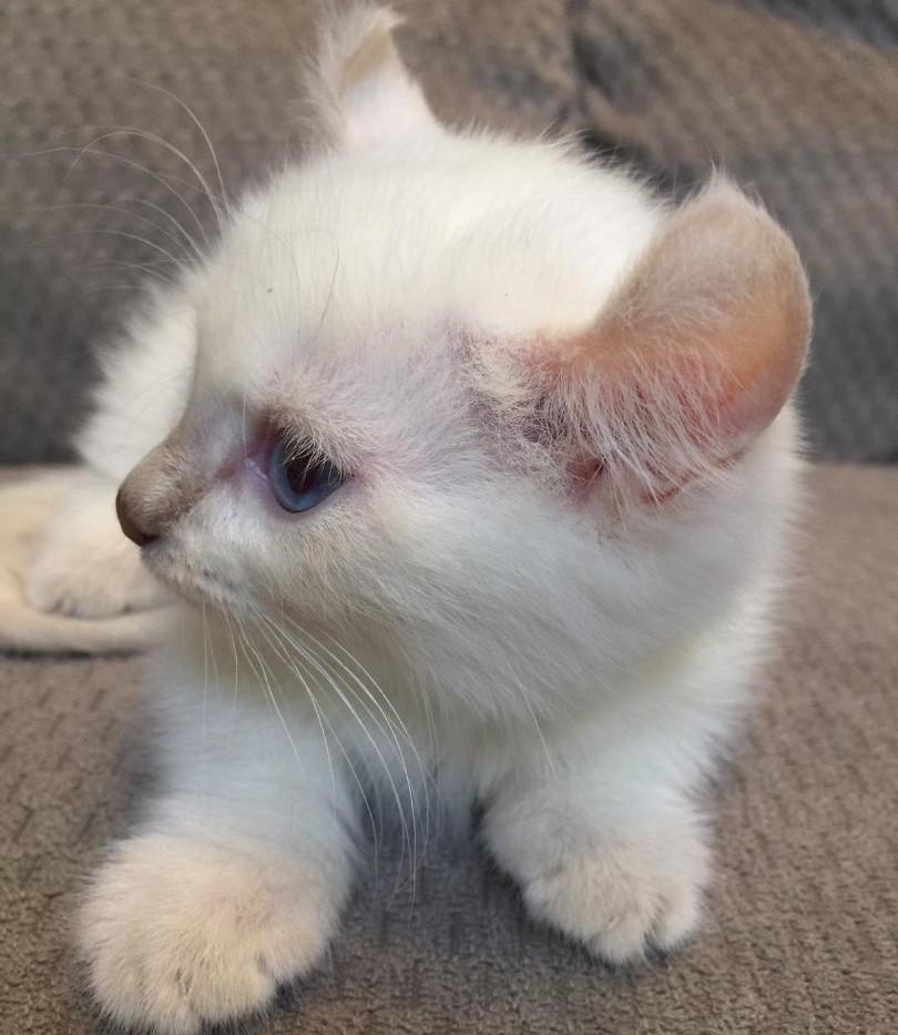 kinkalow kitten 4.jpg