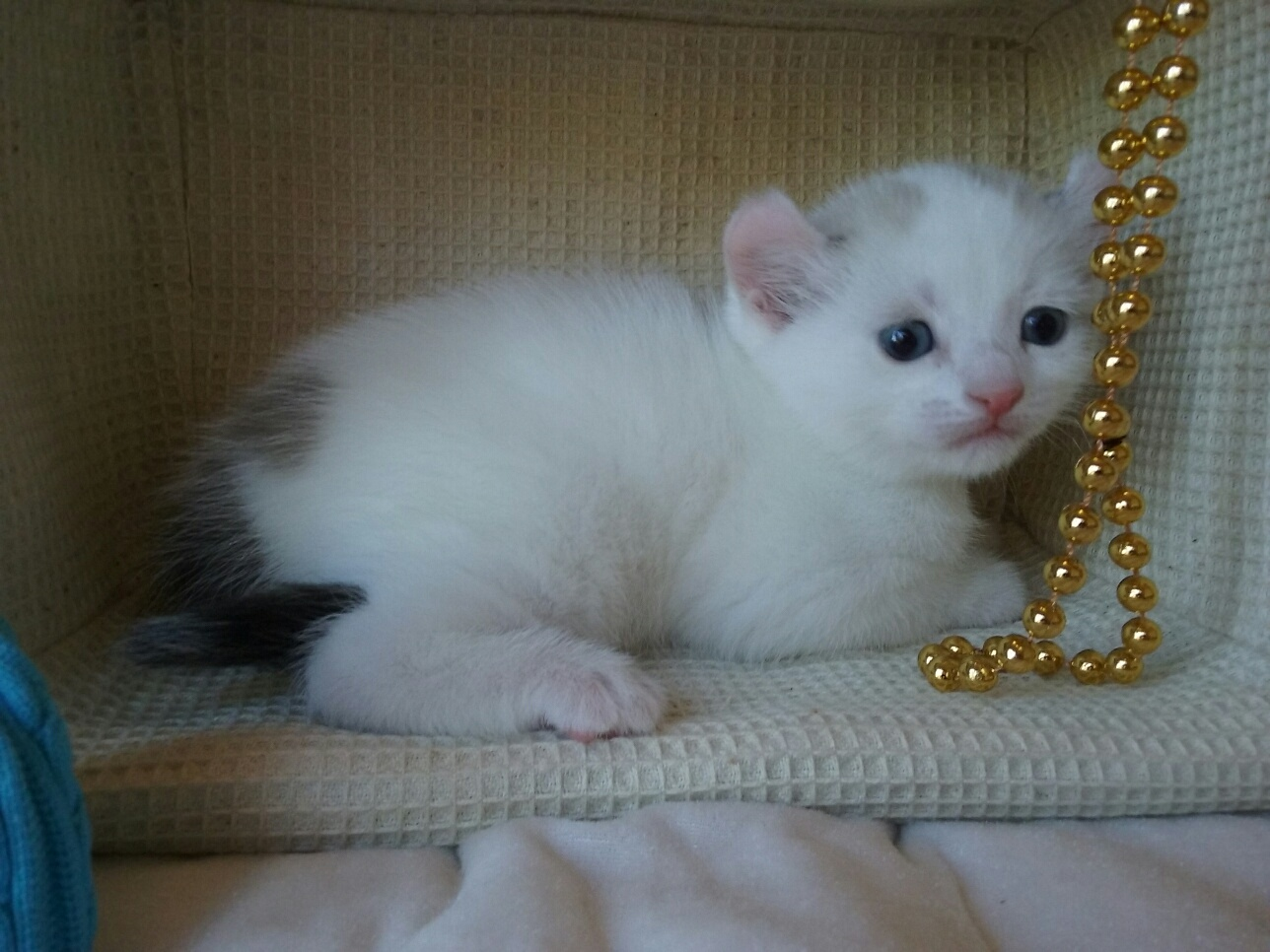 Rare Cats For Sale | TICA KINKALOW KITTENS | United States