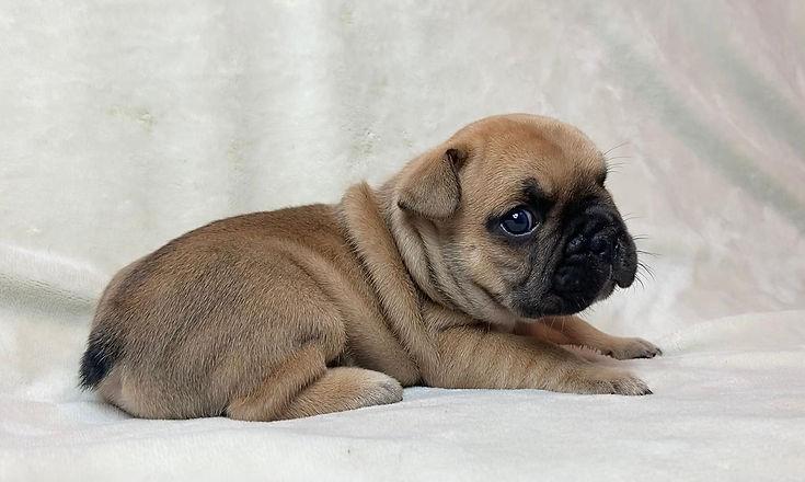 Buy french bulldog fawn.jpg
