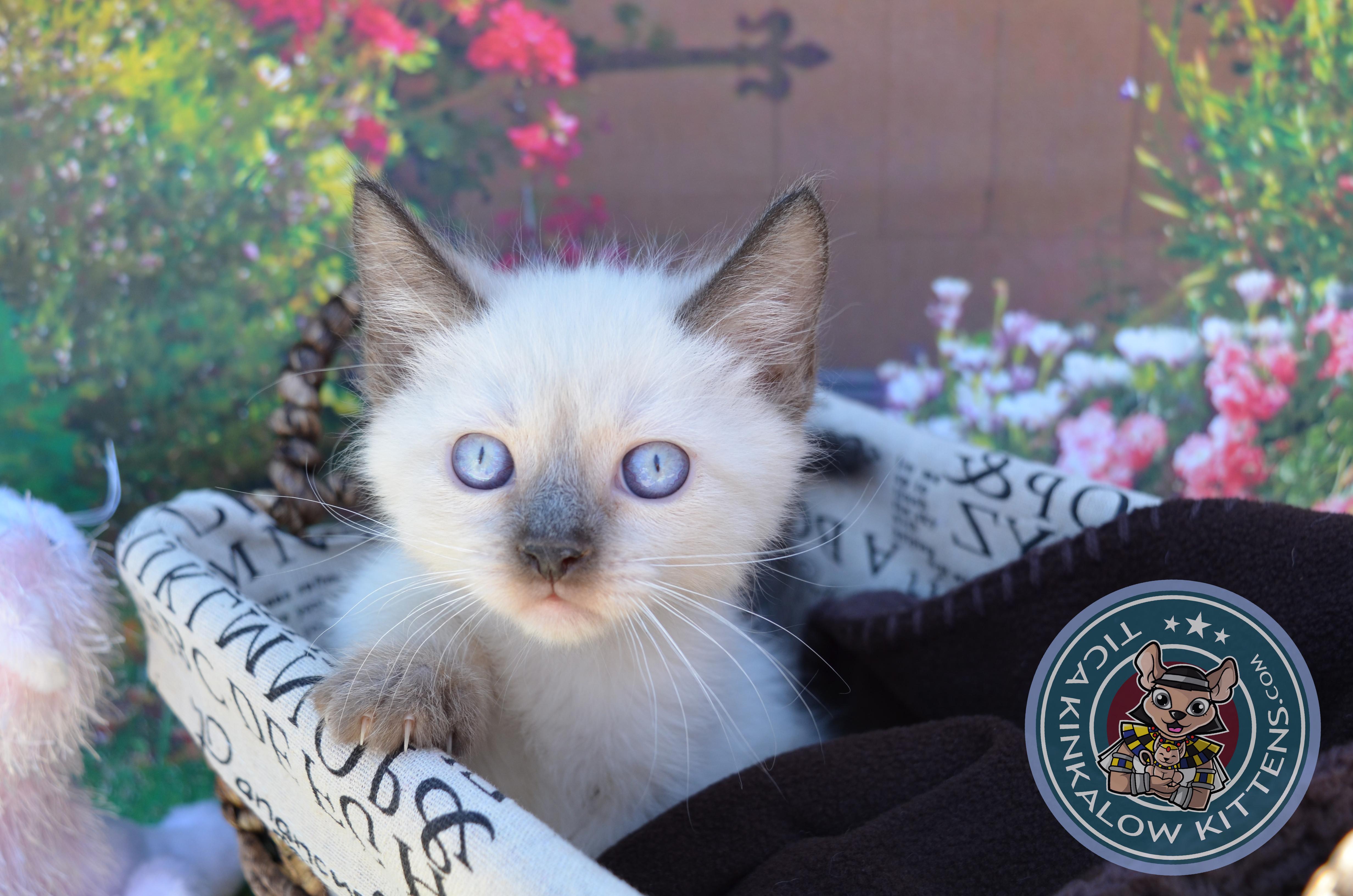 Request a Video of Kitten