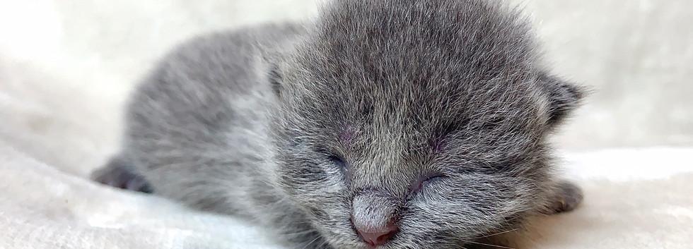 teacup munchkin kitten