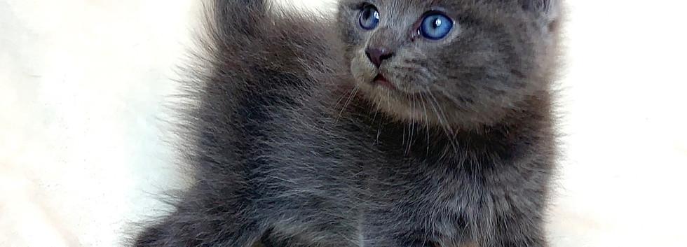 blue american curl boy