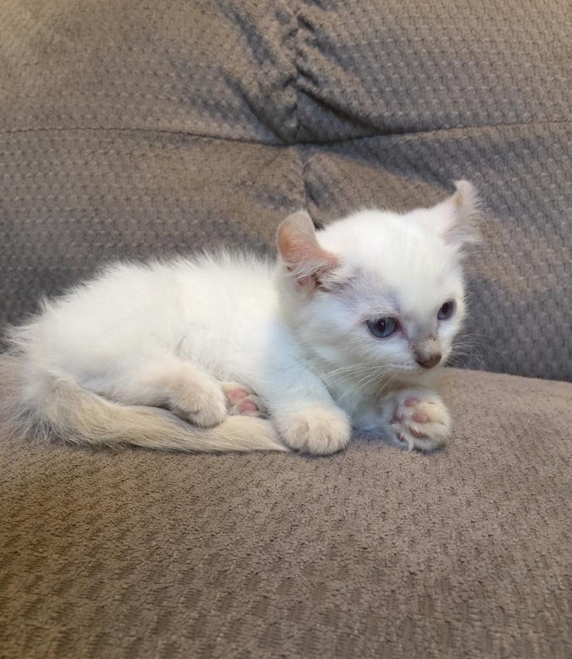 kinkalow kitten 1.jpg