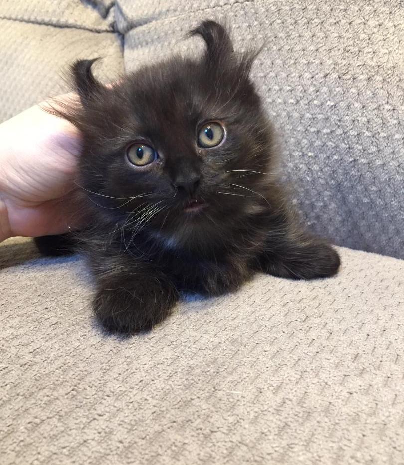 kinkalow munchkin kitten boy 5.jpg