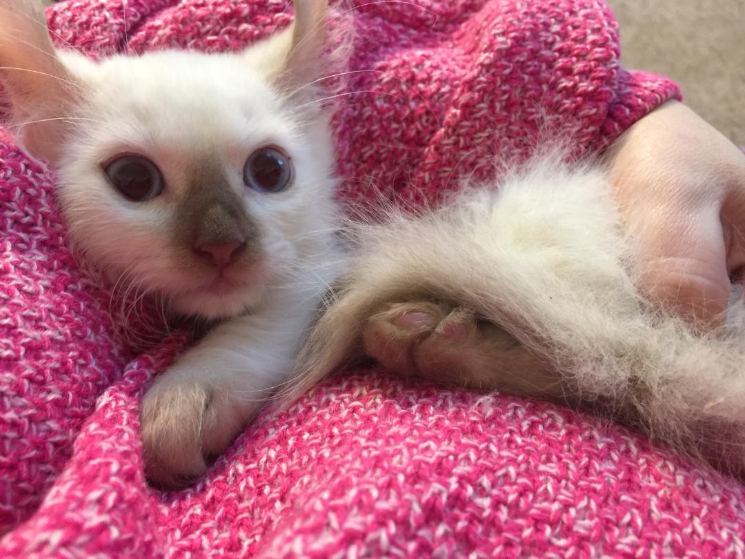Kinkalow Kitten boy 1a.jpg