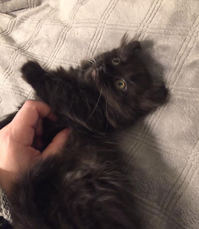 Jack the Kinkalow Kitten 2.jpg
