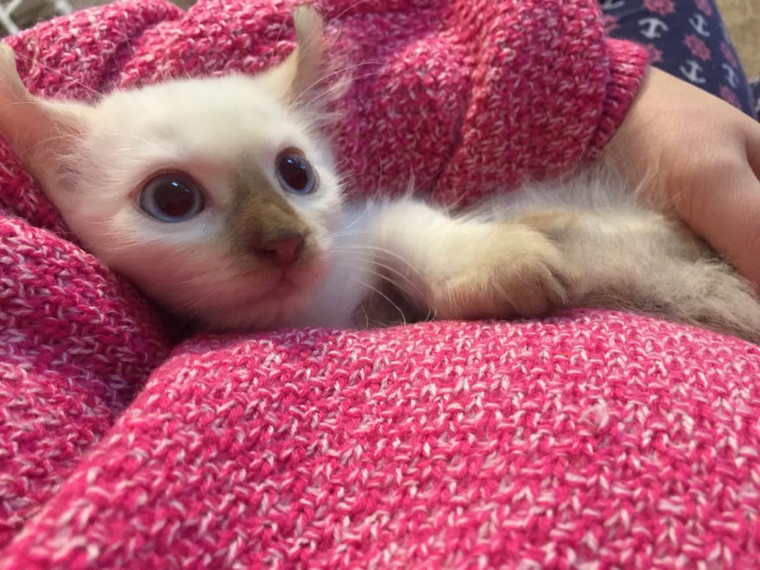 Kinkalow kitten boy 3a.jpg