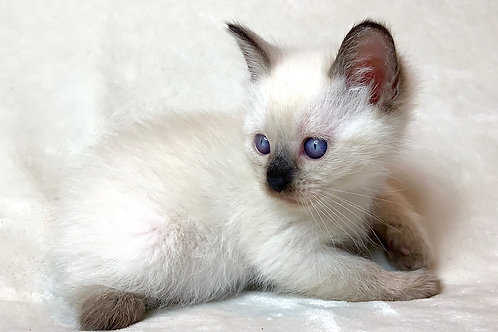 """""""Eve"""" the Dollface Persian Girl"""