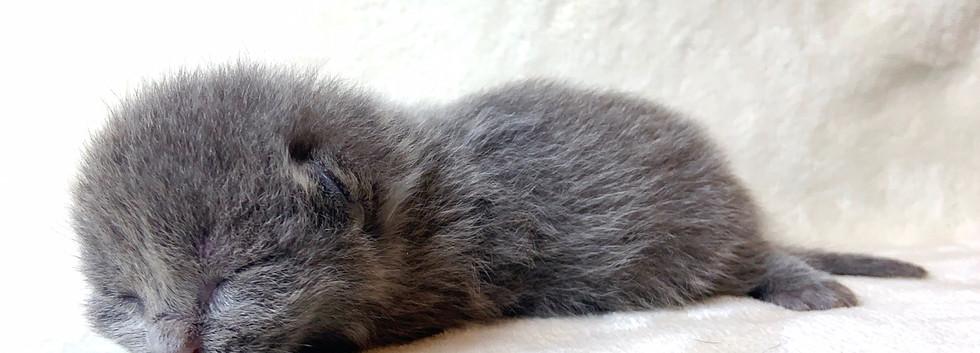 blue munchkin kitten