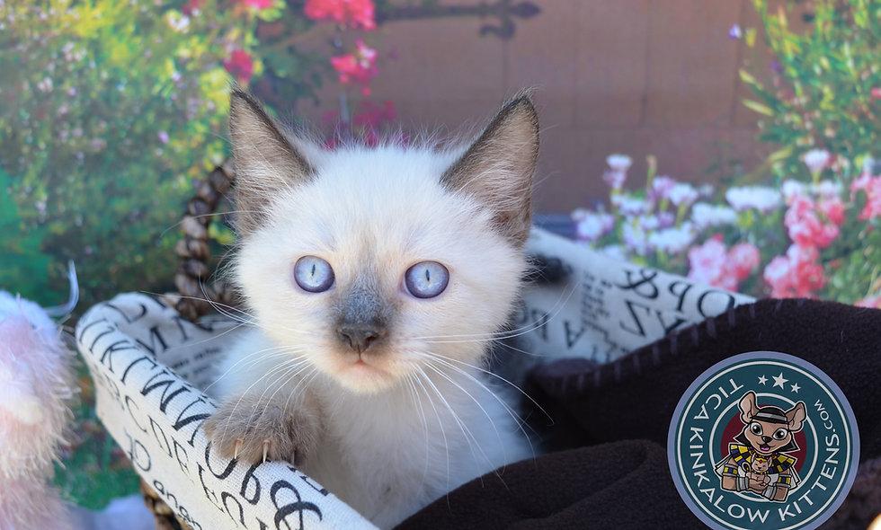 Munchkin Kittens for sale | TICA KINKALOW KITTENS | United States