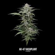 AK-47 Hashplant-Labeled.mp4