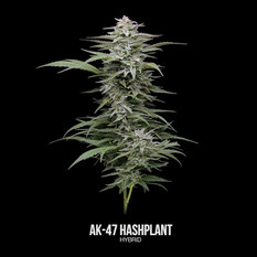 AK-47 Hashplant-Labeled.mp4
