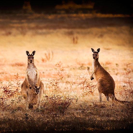Kangaroos, Quindalup South Western Australia